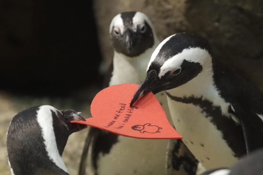 Two penguins fight over a heart shaped valentine at the California Academy of Sciences in San Francisco on  Wednesday, Feb. 12, 2020.